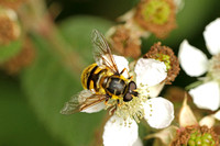 Hoverfly Species-E