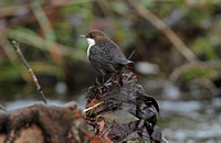 Black-bellied Dipper (Adult)