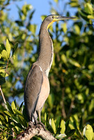 Bare-throated Tiger-heron (Adult)