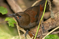 Saddleback (South Island-Juvenile)