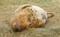 Grey Seal (Female)