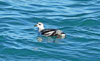 Black Guillemot (1st Winter)