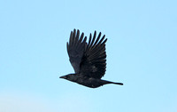 Carrion Crow (Adult)