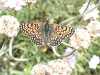 Glanville Fritillary (Male)