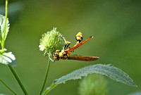 Common Potter Wasp (Phimenes flavopictum)