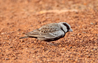 Ashy-crowned Sparrow Lark (Male)