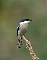 Bar-winged Flycatcher-shrike