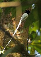 Indian Paradise Flycatcher (Male)
