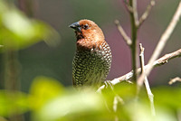 Scaly-breasted Munia (Adult)