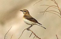 Black-eared Wheatear (Female-Eastern form melanoleuca))
