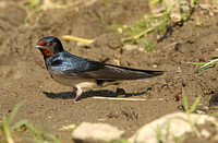 Barn Swallow (Adult)