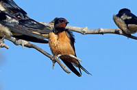 Barn Swallow (Adult-form transitiva)
