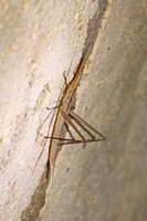 Majorca - Stick Insect (Brown)