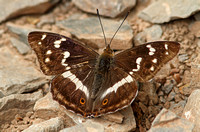Purple Emperor (Male)