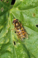 Hoverfly Species-K