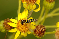 Hoverfly Species-L