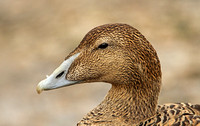 Common Eider (Duck)