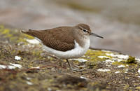 Common Sandpiper (1st Winter)