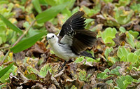 Black-backed Water-tyrant