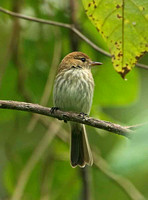 Bran-coloured Flycatcher