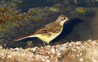 Black-headed Wagtail (Female)