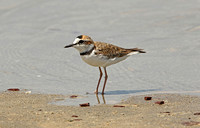 Waders-Avocets, Stilts, Oystercatchers, Plovers and Lapwings (Charadrii)
