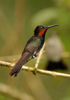 Black Jacobin (Female)