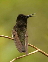 Black Jacobin (Male)