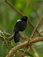 Fringe-backed Fire-eye (Male)