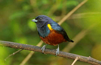 Chestnut-vented Euphonia (Male)