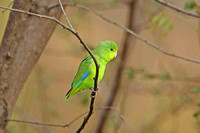 Blue-winged Parrotlet (Male)