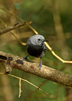 Narrow-billed Antwren (Male)