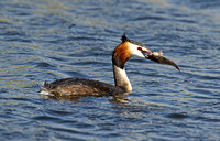 Great Crested Grebe (Adult Summer)