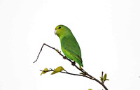 Blue-winged Parrotlet (Female)