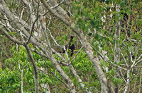 White-browed Guan
