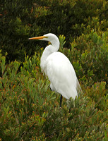 American Great White Egret (Summer)