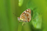 Blue Pansy (Female)