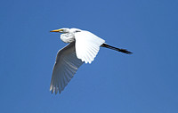 American Great White Egret (Winter)