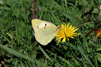 Clouded Yellow (Female-Helice form)