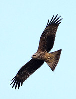 Black Kite (Juvenile)