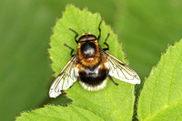 Hoverfly Species-D