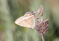 Long-tailed Blue (Female)