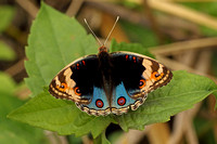 Blue Pansy (Male)