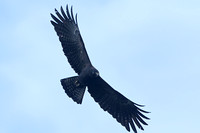 Black Eagle (Adult)