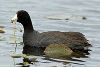 American Coot (Adult)