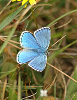 Adonis Blue (Male)