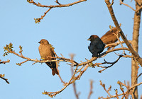 Brown-headed Cowbird (Pair)