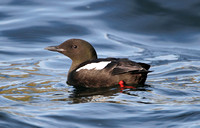 Black Guillemot (Summer)