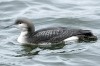 Black-throated Diver (Juvenile)