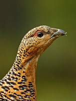 Capercaillie (Female)